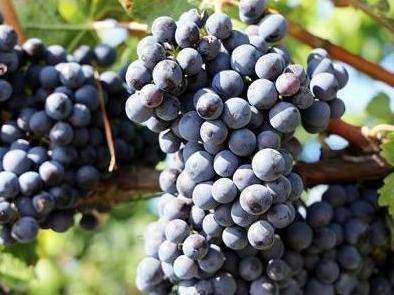 L'état hydrique des sols dans les vignobles peut être tracé avec la composition isotopique du carbone et de l'azote des vins