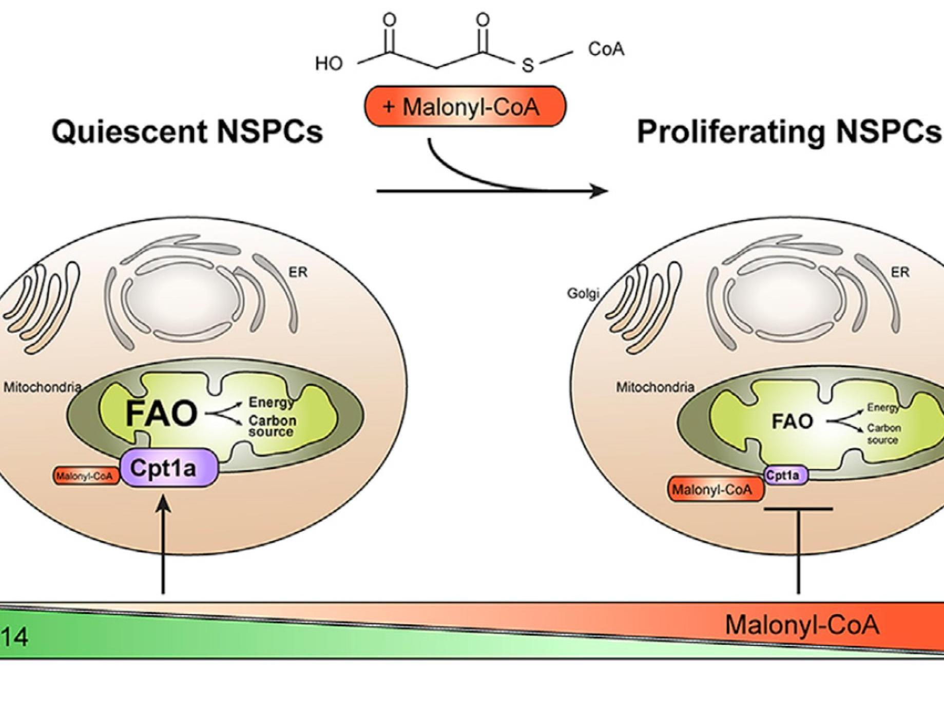 A Fatty Acid Oxidation-Dependent Metabolic Shift Regulates Adult Neural Stem Cell Activity