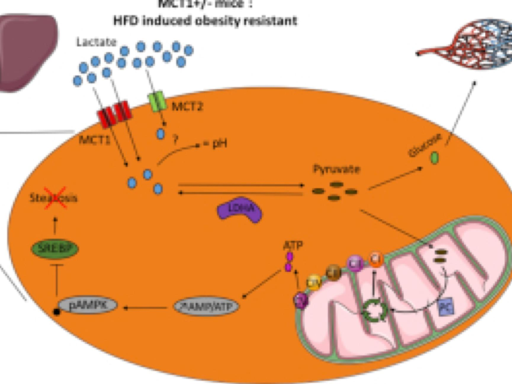AMPK activation caused by reduced liver lactate metabolism protects against hepatic steatosis in MCT1 haploinsufficient mice