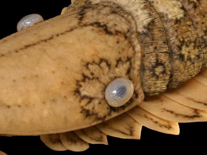 Les premières données fossiles d'euarthropodes et l'explosion cambrienne