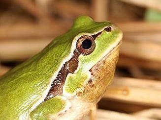 La rainette de Perrin, nouvelle espèce trouvée en Suisse
