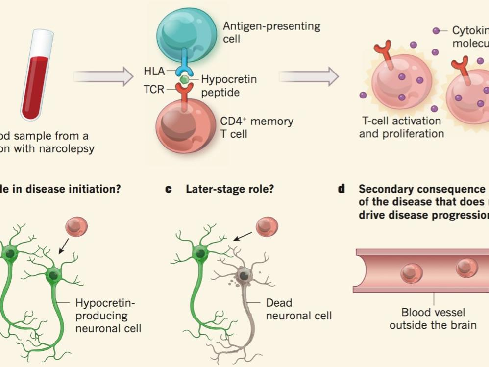 T cells in patients with narcolepsy target self-antigens of hypocretin neurons