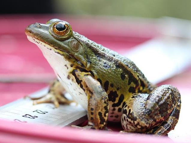 Les grenouilles renouvellent leurs chromosomes sexuels