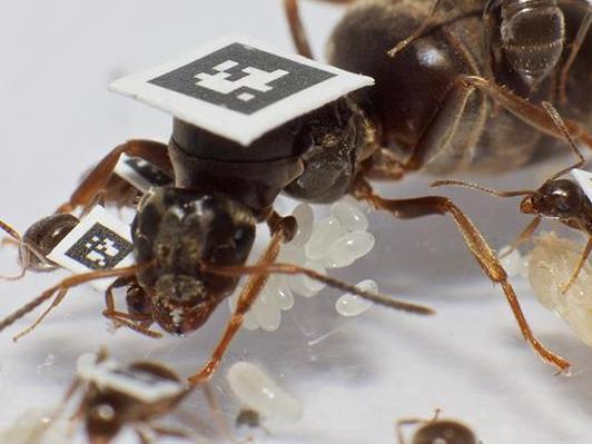 Chez les fourmis, l'union fait la force… et la santé
