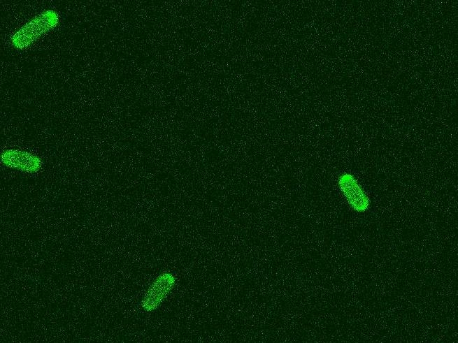 Using bacterial chemotaxis as bioreporter.