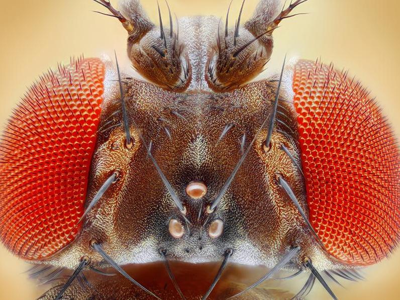 """Chez les mouches, les mâles """"manipulent"""" les femelles"""