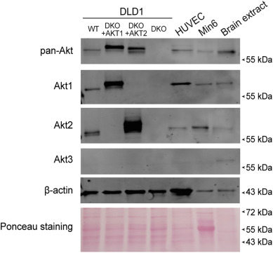 The PI3K/Akt pathway is not a main driver in HDL-mediated cell protection